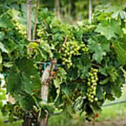 Fruit On The Vine Poster