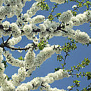 Fruit Tree Blooms Poster