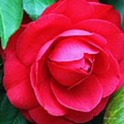 Fuchsia Camellia In Pastel Poster