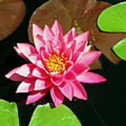 Fuchsia Pink Water Lilly Flower Floating In Pond Poster