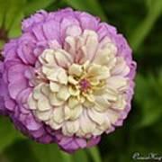 Zinnia In Full Bloom Poster