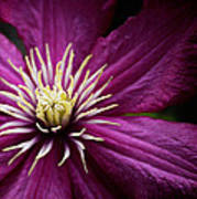 Full Bloom Clematis  Poster