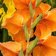 Full Stem Gladiolus Poster