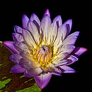 Fuscia Water Lily Poster