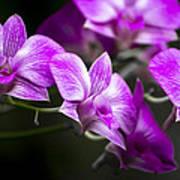Fushia Orchid Poster
