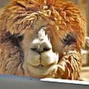 Fuzzy Wuzzy Alpaca Poster by Helen Carson