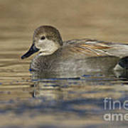 Gadwall On Icy Pond Poster