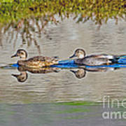 Gadwall Pair Swimming Together Poster