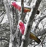 Galahs In A Tree Poster
