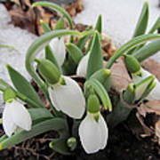 Galanthus Nivalis Snowdrops Poster