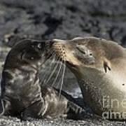 Galapagos Fur Seals Poster