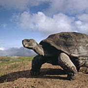Galapagos Giant Tortoise On Alcedo Poster