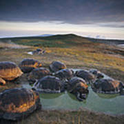 Galapagos Giant Tortoise Wallowing Poster