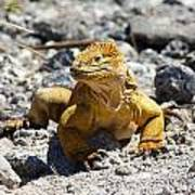 Galapagos Iguana On The Move Poster