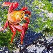 Galapagos Sally Lightfoot Crab Poster