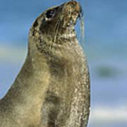 Galapagos Sea Lion Coral Beach Poster