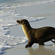 Galapagos Sea Lion In Gardner Bay Poster
