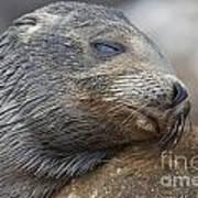 Galapagos Sea Lion Sleeping Poster