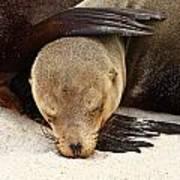 Galapagos Sea Lion Poster