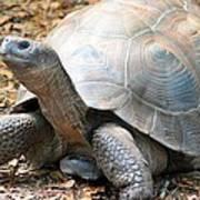 Galapagos Tortoise 2 Poster