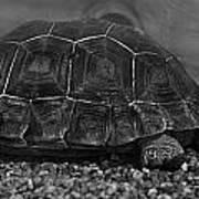 Galapagos Tortoise Baby Poster
