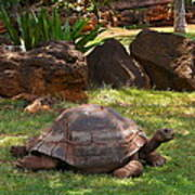 Galapagos Turtle At Honolulu Zoo Poster
