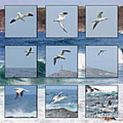 Gannets Galore Poster