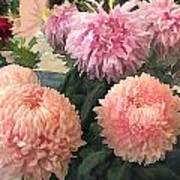 Garden Of Mixed Pink Chrysanthemums Poster
