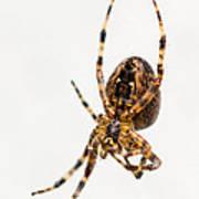 Garden Spider Profile Poster