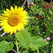 Garden Sunflower Poster