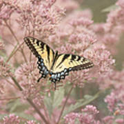Garden Visitor - Tiger Swallowtail Poster