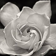 Gardenia Bloom In Sepia Poster