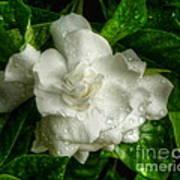 Gardenia In The Rain Poster