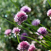 Garlic Chives Flowers Poster