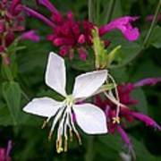 Gaura Lindheimeri Whirling Butterflies With Agastache Ava Poster