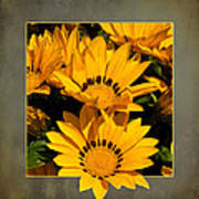 Gazania Out Of Frame Poster