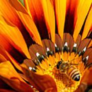 Gazania Pollination Poster