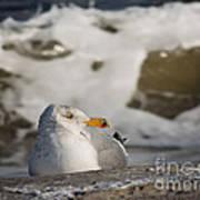 Gazing Gull Poster