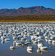 Geese At Bosque Del Apache Poster by Kurt Van Wagner