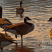 Geese At Sunset Poster