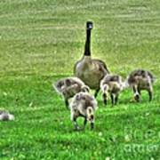 Geese Hdr Poster