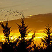 Geese In Golden Sunset Poster