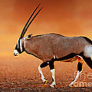 Gemsbok On Desert Plains At Sunset Poster