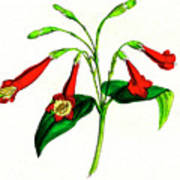 Gentian (lisianthus Puleber) Poster