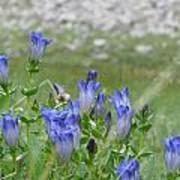 Gentian Wildflowers Poster