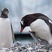 Gentoo Penguin With Chick Begging Poster