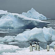 Gentoo Penguins With Icebergs Antarctica Poster