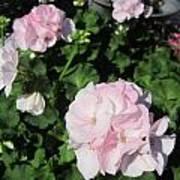 Geranium In Pink Poster