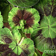 Geranium Leaves Poster