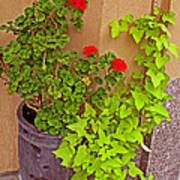 Geraniums And Ivy Poster
